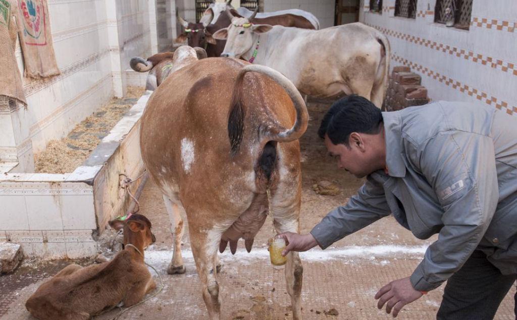 Chin Chin, o ritual de beber urina de vaca
